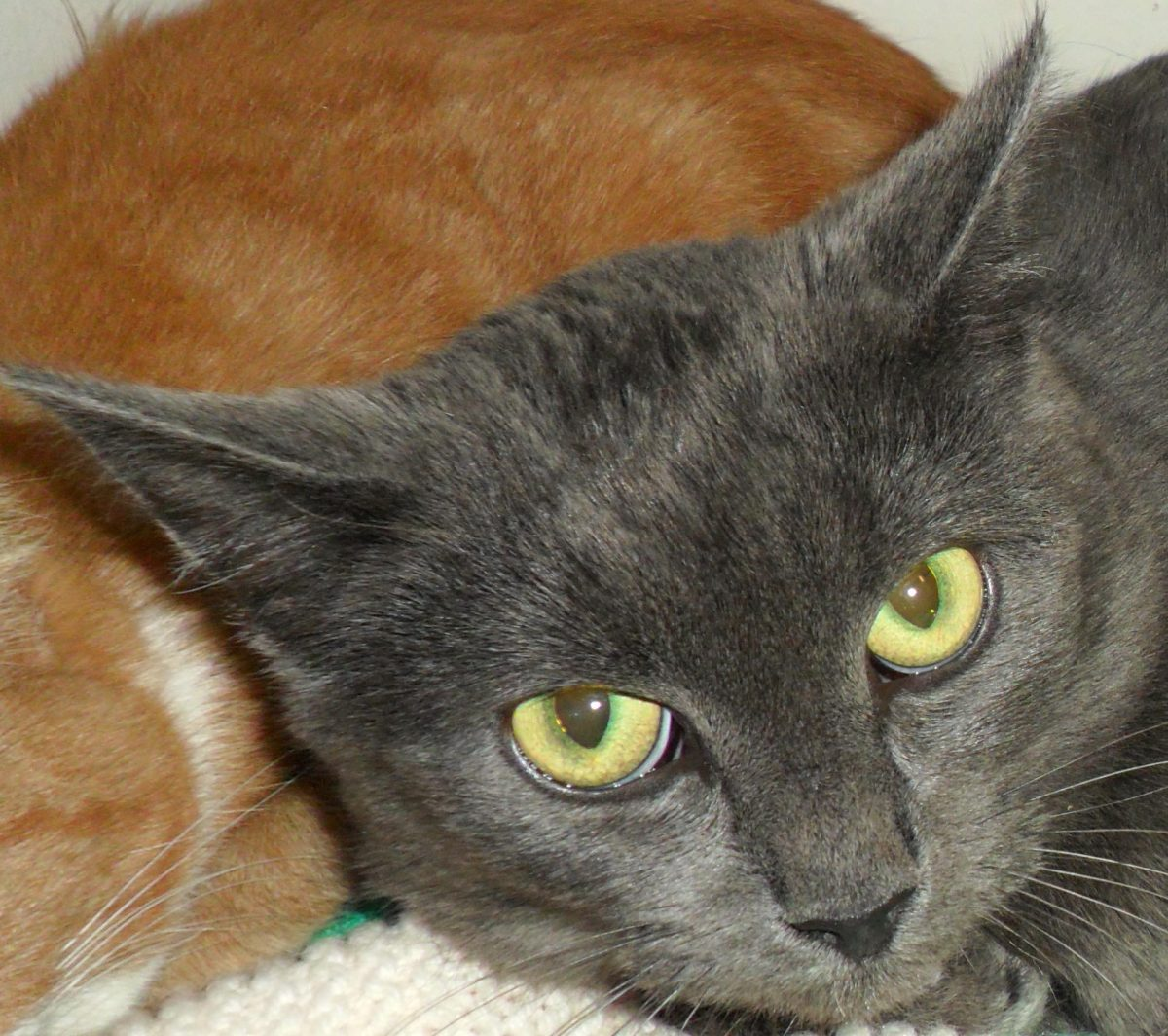 kitten for sale in new york